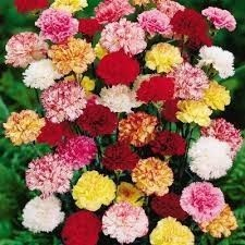 variety color carnations